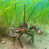 Pinchy little crustaceans like lobster find protection in eelgrass, which coats Nova Scotia's coastline and is vital to our ocean's ecosystems.