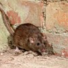 City council to look into Halifax's rat problem