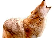 Urban coyotes want your cat