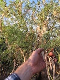 bced5b5d_5.19-harvesting-mesquite-pods-img_21531-225x300.jpg