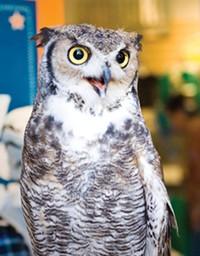 JENNIFER MEAD - Meet Bubba a Great-horned owl