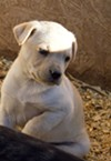 One of the cute puppies available at D-S Rescue.