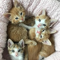 So Many Kittens! PACC Needs Foster Families