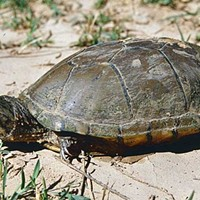 Critical of critical habitat: Endangered turtle haven abuts border wall
