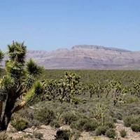 Proposal to protect Joshua trees from climate change proves divisive