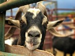 Druid the Alpine goat. - BRIAN SMITH