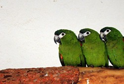800px-diopsittaca_nobilis_-three_zoo_birds-8a_2.jpg