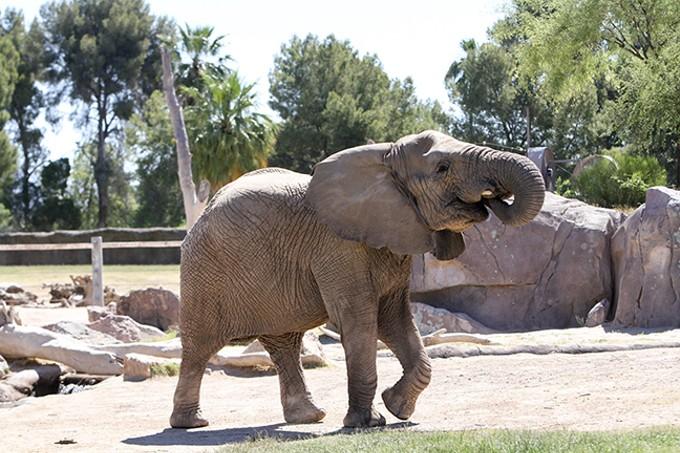 Lungile the elephant - LOGAN BURTCH-BUUS