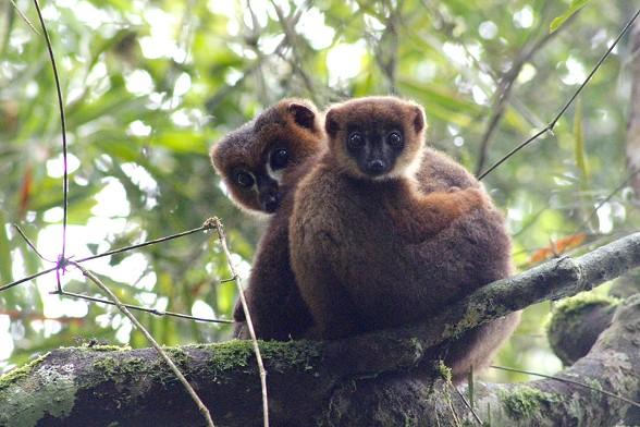 Red-bellied Lemurs - PIERRE LAHITSARA