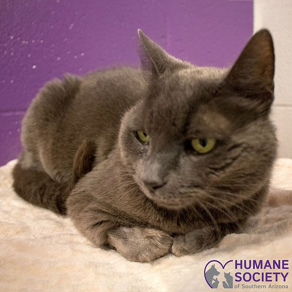 Gracie the Cat - HUMANE SOCIETY OF SOUTHERN ARIZONA