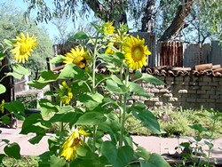 sunflowers_blooming_at_historic_lowe_house_for_paint_out_and_auction_001.jpg