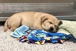 PACC will be waiving adoption fees for pets four months and older. SA $19 licensing fee will apply to dogs. - PIMA COUNTY
