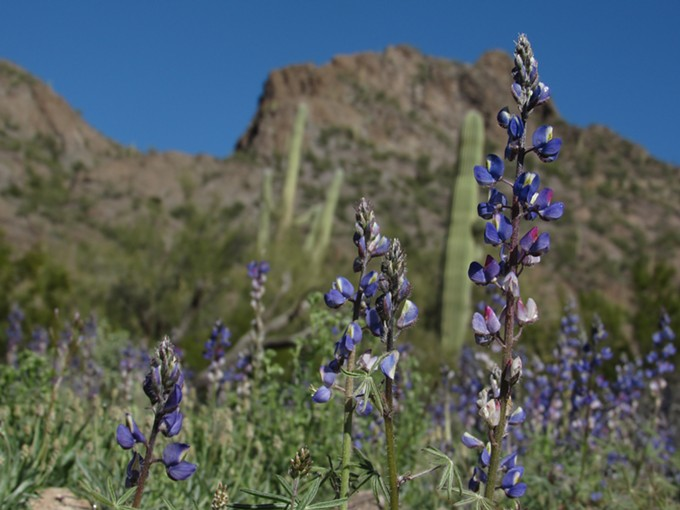 Lupines at Picacho Peak State Park on Sunday, Feb 24, 2019. - IAN GREEN