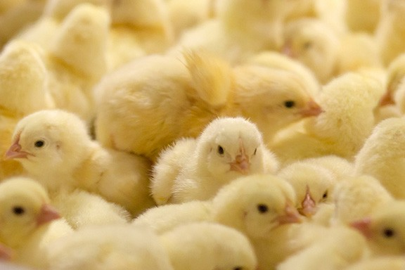 chicks - BIGSTOCK