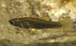 No fishing! The endangered Gila topminnow is swimming in Agua Caliente Park. - COURTESY AGFD