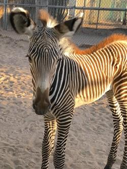 zebra_foal1.jpg