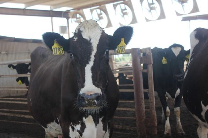 1._cows.jpg