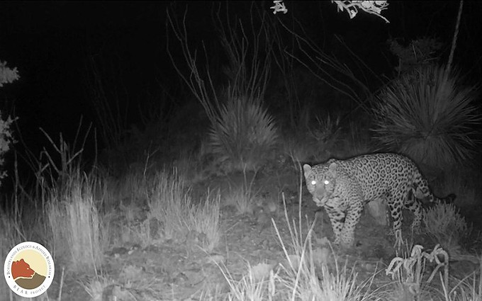 This young male jaguar, El Bonito, was spotted near the border between Mexico and Arizona, suggesting that the felines could eventually migrate north. - GANESH MARIN/UNIVERSITY OF ARIZONA