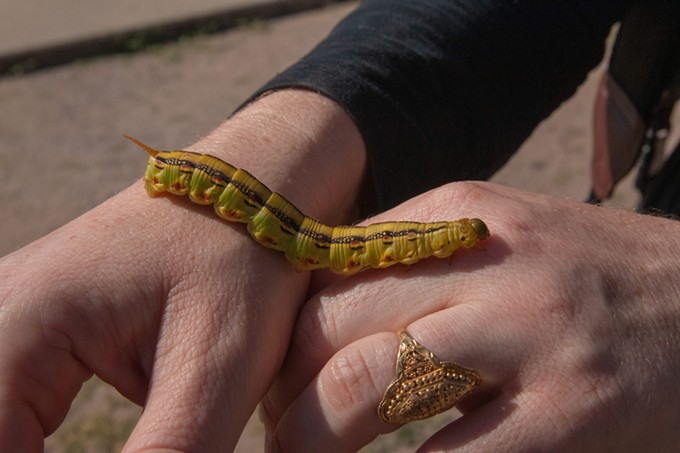 Kelsey Shaw holds one of the larger caterpillars. White-lined sphinx moth caterpillars can grow up to 5 inches long. - SIERRA ALVAREZ/ CRONKITE NEWS