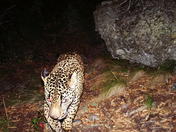 An endangered jaguar captured by a remote camera in southeastern Arizona. - CONSERVATION CATALYST AND CENTER FOR BIOLOGICAL DIVERSITY