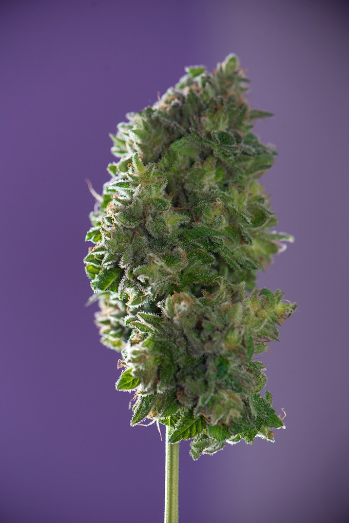 bigstock-detail-of-trimmed-cannabis-col-211815217.jpg