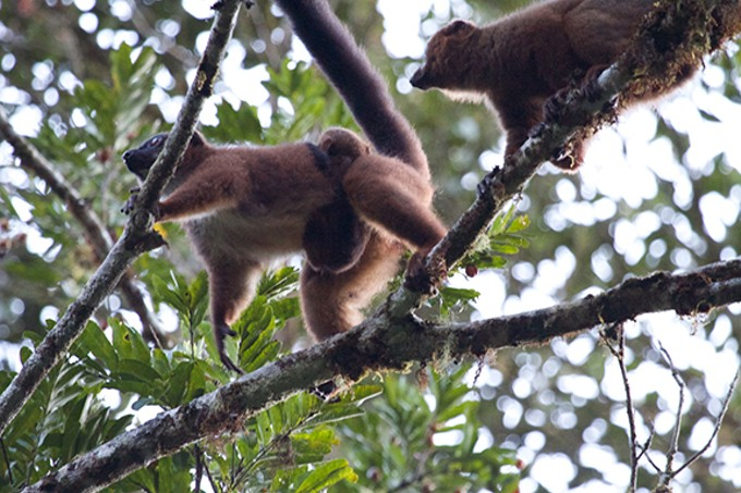UA scientists are learning about the immune system and gut biomes, thanks to lemur families.