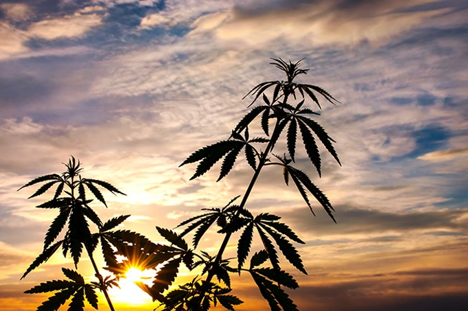 bigstock-silhouette-of-cannabis-on-a-bl-192283885.jpg