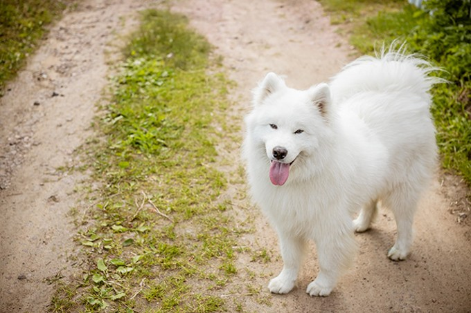 The Stantons kept seven Samoyeds at their home