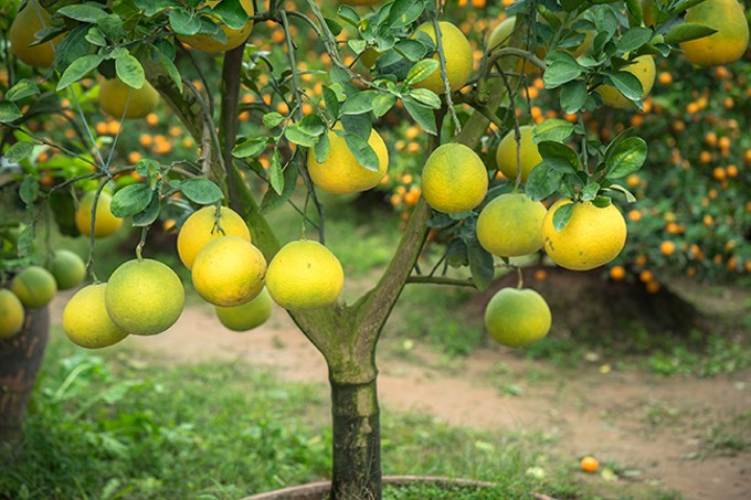 bigstock-ripe-and-green-pomelo-fruit-tr-226874281.jpg