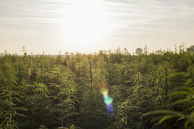 bigstock-marijuana-cbd-hemp-plants-fiel-317263591_1_.jpg