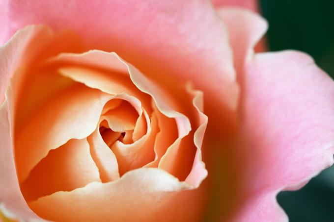 bigstock-rosebud-72203626.jpg
