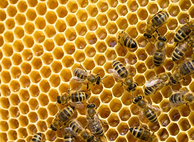 bigstock-bees-swarming-on-a-honeycomb-86927315.jpg