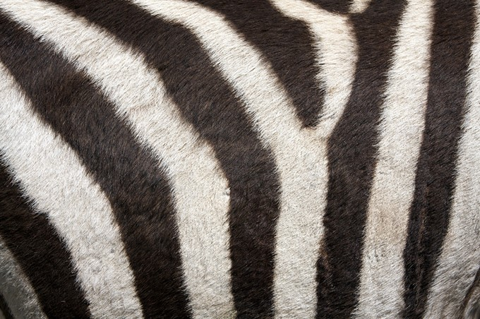 bigstock-fur-of-a-zebra-for-background-26161310.jpg