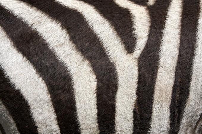 bigstock-fur-of-a-zebra-for-background-26161310.jpg