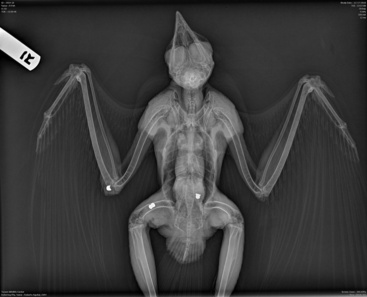 A radiograph shows a red-tailed hawk shot in three places. - COURTESY ARIZONA GAME AND FISH