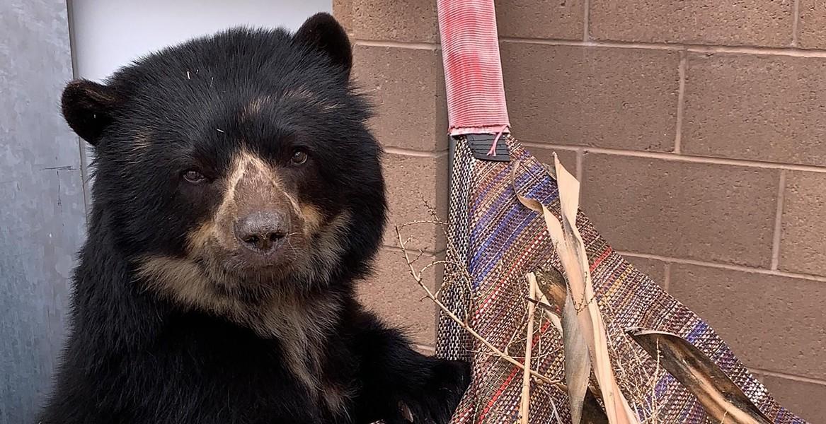Oja the Andean Bear - COURTESY PHOTO