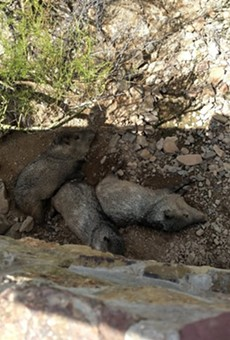 A group of javelina cool off under a bridge at the Desert Museum.