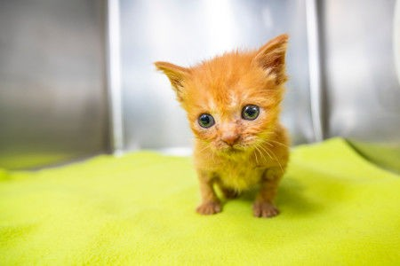 Kittens are available for adoption and to be fostered at Pima Animal Care Center.