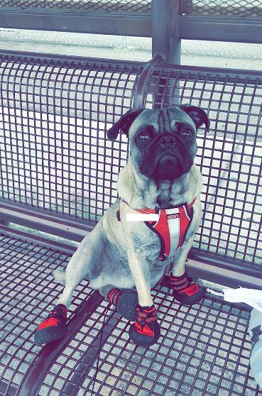 Biggz the pug in his new booties. - COURTESY OF CLARISSA ALEMAN
