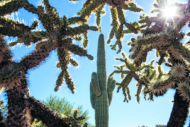 Chollas surround a saguaro in Saguaro National Park. Research, between 1993 and 2016, found that three new saguaros took root in a 60-acre area that is monitored regularly in Saguaro National Park East.