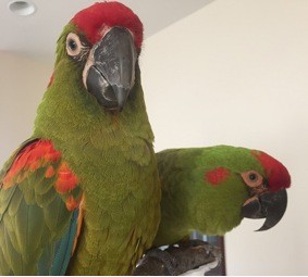 Ernie the red-fronted macaw, left, with his brother and bonded flock-mate. - RACHEL GOOSSEN