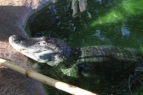 Bayou the alligator. - JEFF GARDNER