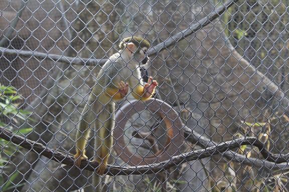 Squirrel monkey. - JEFF GARDNER