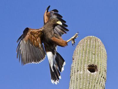 A Harris Hawk, one of the many birds a watchful eye can spot in southeast Arizona.