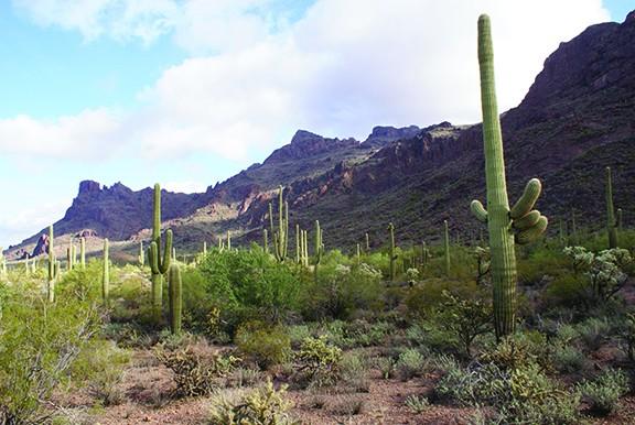 saguaro2_burquez.jpg