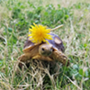 Production Manager Alex's tortoise wearing a beautiful dandelion