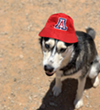 Graphic Designer Nicole Baloo's husky looks like he really loves wearing that hat...
