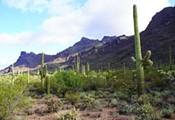 A Saguaro Primer