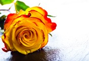 Roses Need Love